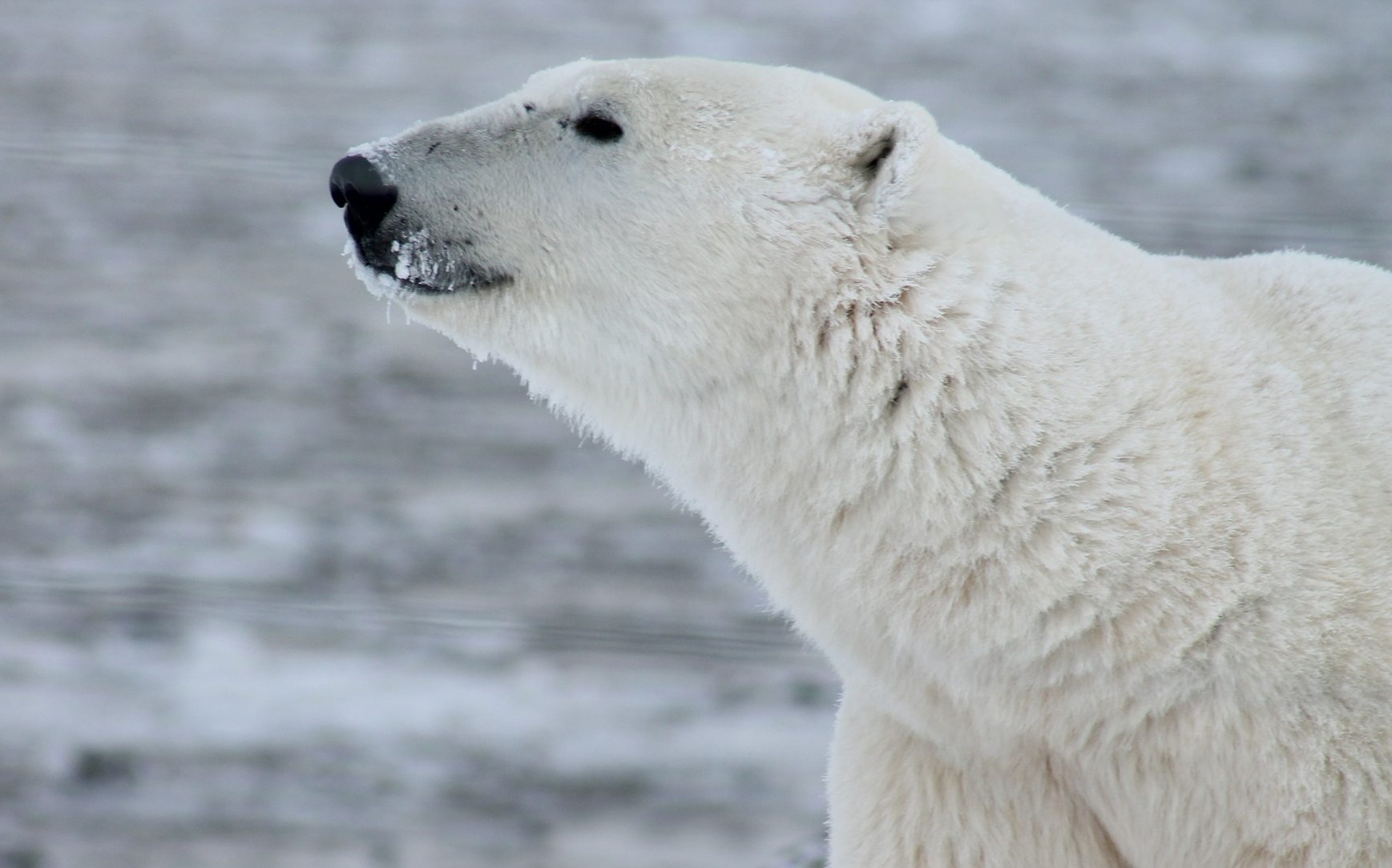 Polar bear with nose in air